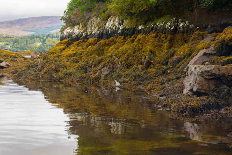 A heron stalks the shoreline of Glengarriff Harbour