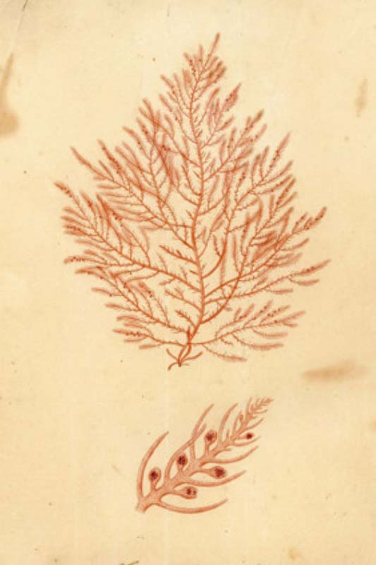 Watercolour drawing of Fucus asparagoides by Ellen Hutchins 1811. Image courtesy of the Hutchins family.